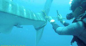 ضبط 11 طنا من لحوم أسماك القرش المحمية في بيرو